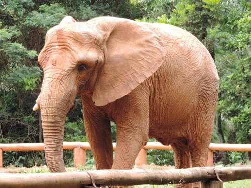 Elephant Great Wild