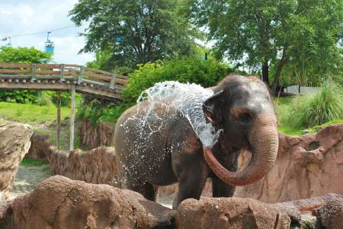 Elephant Animal Mammal Trunk Happy Water