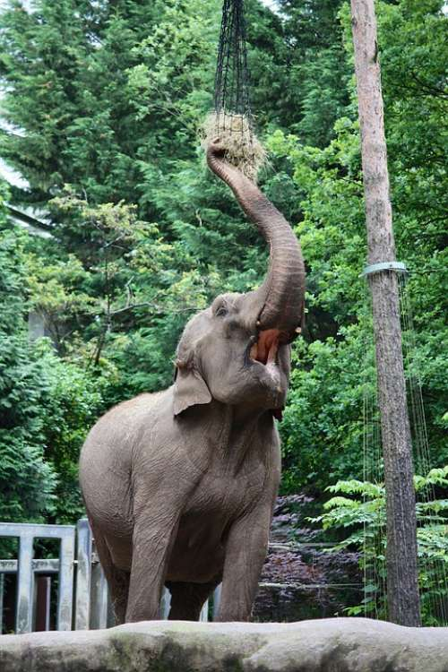 Elephant Pachyderm Zoo Eat Proboscis Animals