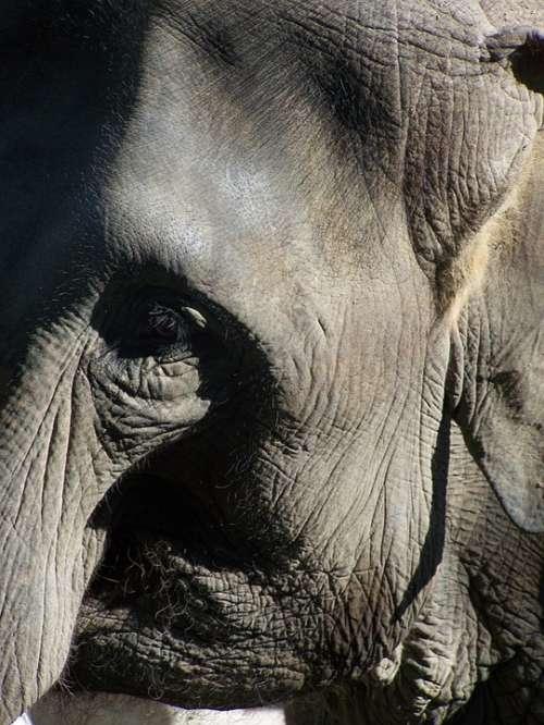 Elephant Close Up Animals Zoo