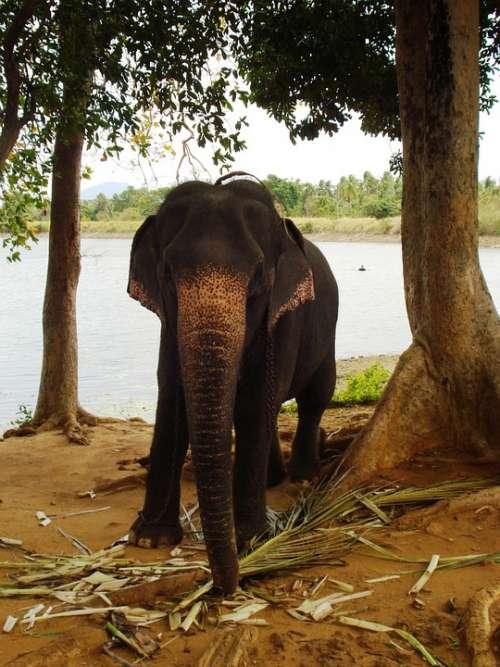 Elephant Animal Baby Elephant