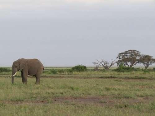 Elephant Africa Savannah Ivory Mammal Wildlife