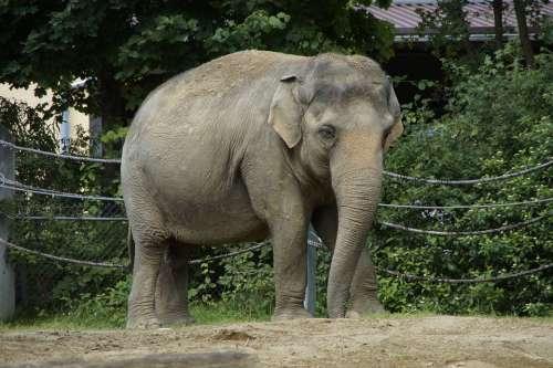 Elephant Indian Elephant Animal Pachyderm Side Zoo