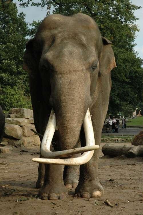 Elephant Tusk Animal Nature Africa Tusks