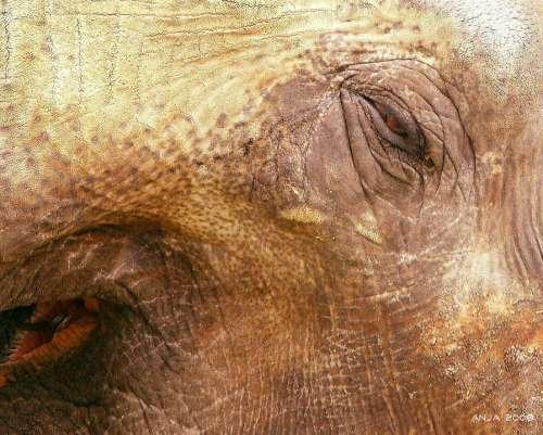 Elephant Elephant Skin Animal Africa Wrinkled Skin