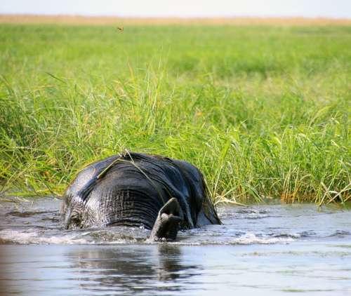 Elephant Africa Botswana South Africa Water Nature