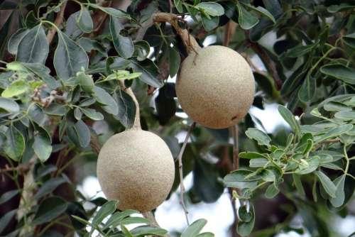 Elephant-Apple Monkey Fruit Curd Fruit Kaitha Fruit