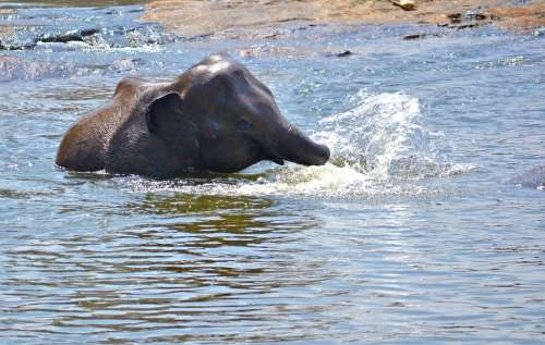 Elephant Baby Playing In Water River River Bath