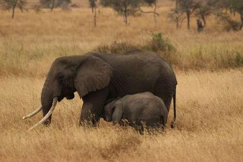 Elephant Baby Elephant Family Serengeti National Park