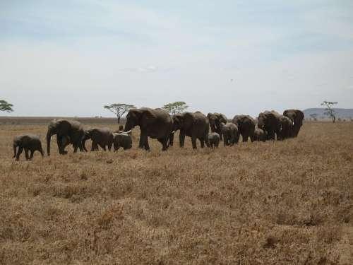 Elephants Tanzania Line Row Large Small