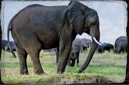 Elephants Animal Namibia Safari Africa Wild Life