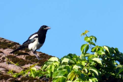 Elster Pica Pica Raven Bird