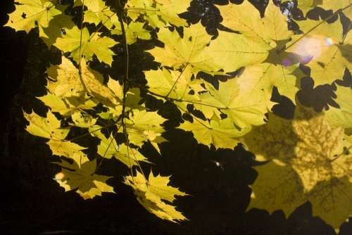 Emerge Leaves Maple Book October Autumn Golden
