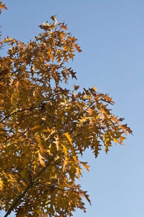 Emerge Leaves Oak October Autumn Golden