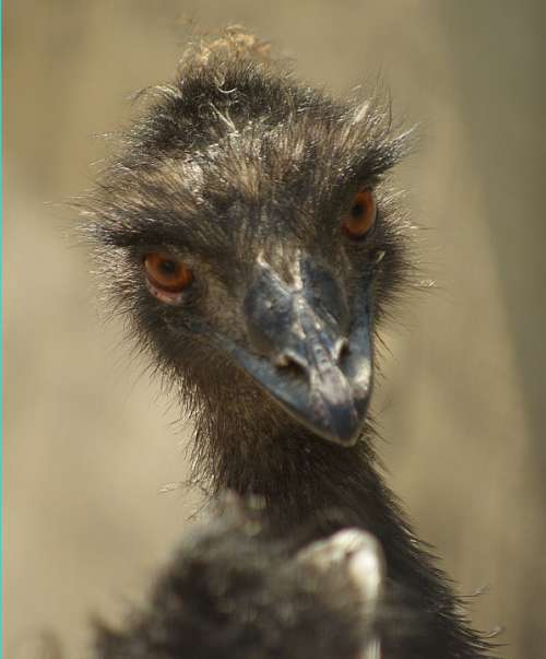 Emu Portrait Zoo