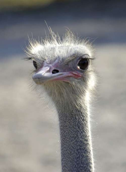 Emu Emu Head Bird Flightless Bird Head Animal