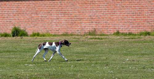English Pointer Pointer Dog Hunting Canine Pet