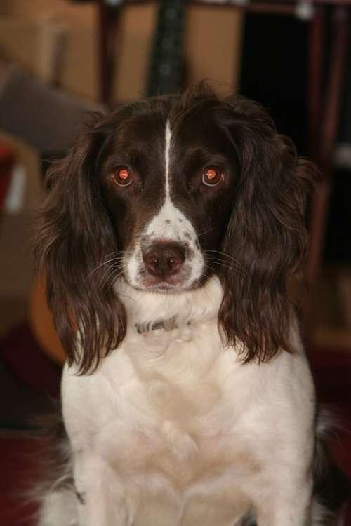 English Springer Spaniel Dog Pet Animal Breed