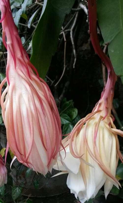 Epiphyllum Anguliger Flower Epiphyllum Rare