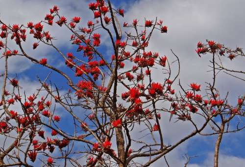 Erythrina Indica Coral Tree Scarlet Flower