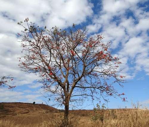 Erythrina Indica Coral Tree Scarlet Flower