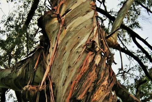 Eucalyptus Tree Tree Trunk Eucalyptus Bark Strips