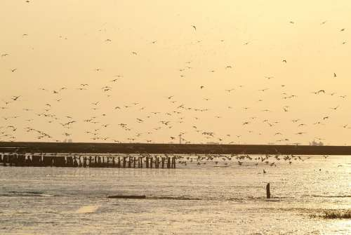 Evening Sky Birds Flock Of Birds Gulls Wadden Sea