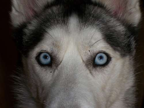 Eyes Blue Siberian Husky Close Up