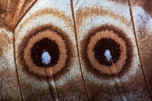 Eyes Butterfly Exotic South America Amazon Scale