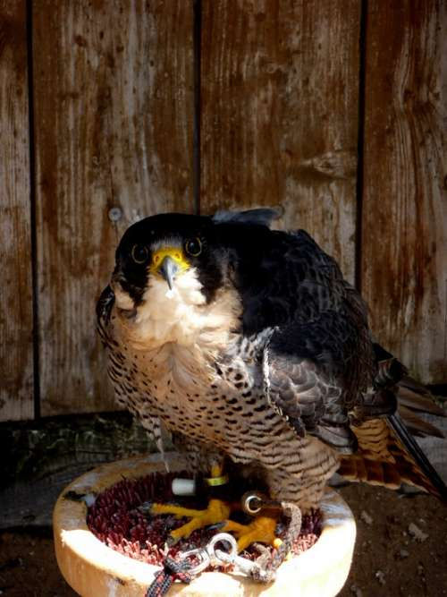 Falcon Bird Predator Breeding Falcons