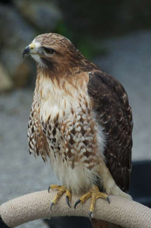 Falcon Raptor Bird Plumage Bird Of Prey Fluffy