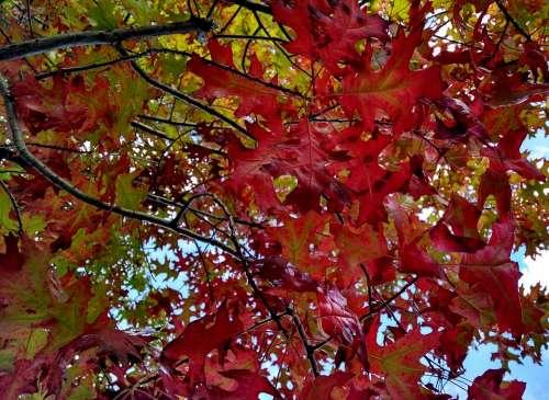 Fall Read Leaves Autumn Foliage Outdoors Nature