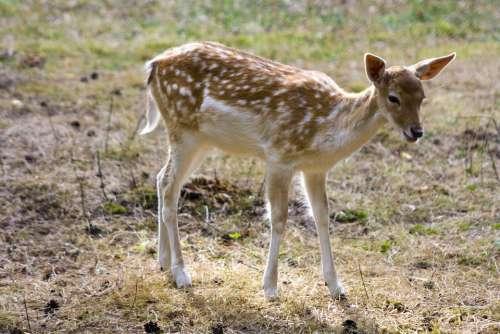 Fallow Deer Young Roe Deer Hirsch Wild Flock