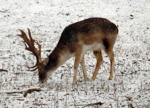 Fallow Deer Winter Fur Stains Antler Scoop Graze