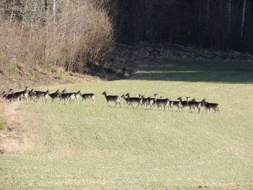 Fallow Deer Flock Nature