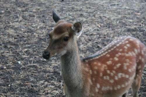 Fallow Deer Roe Deer Dama Dama Hirsch Wild Animal
