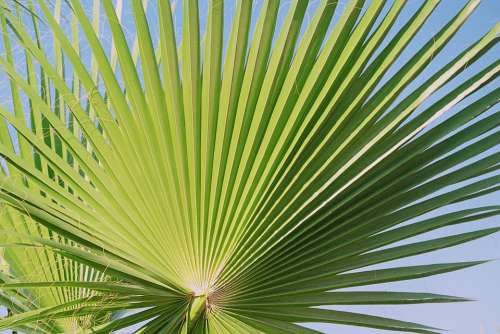 Fan Palm Palm Palmately Divided Leaves Outline
