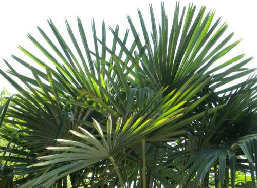 Fan Palm Palm Fronds Tropical Leaf Tree Plant