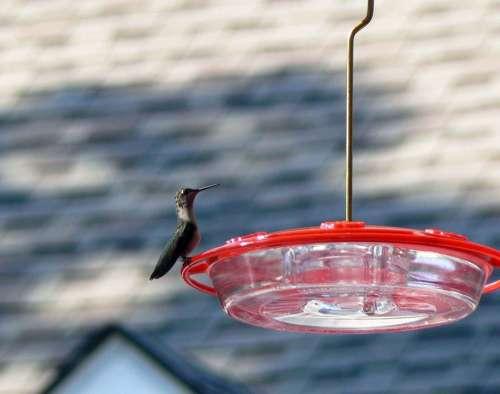 Feeder Perched Hummingbird Hummingbirds Birds