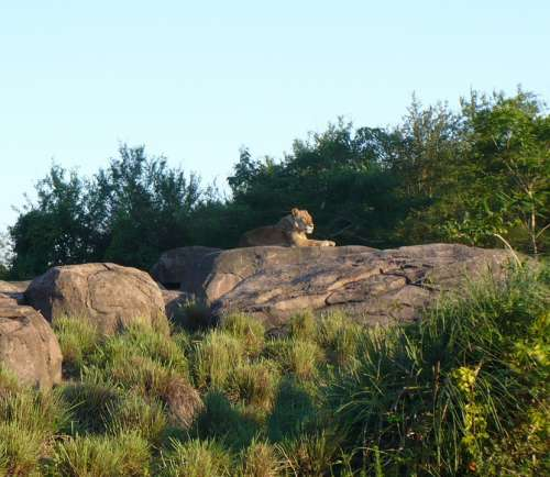 Female Lion Lion Rock Wilderness Africa Safari