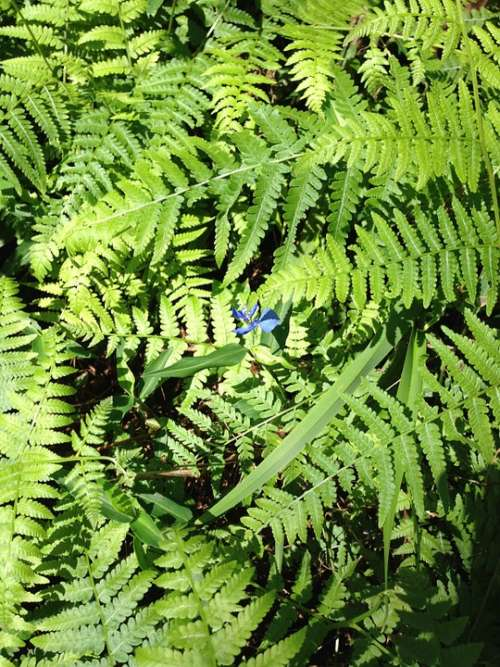 Fern Nature Spring Foliage Leaves Green Plant