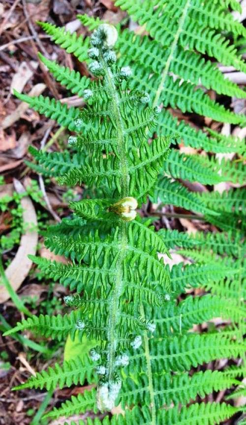Fern Leaf Plant Green