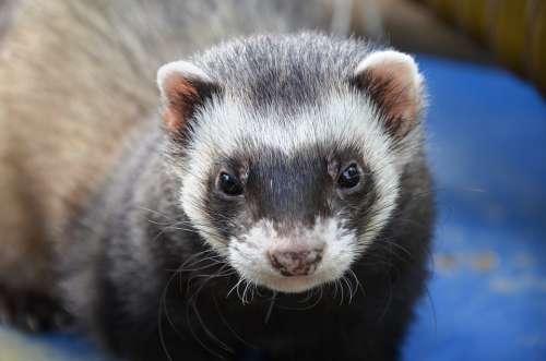 Ferret Animal Eyes Close Up