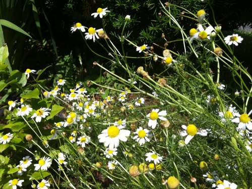 Feverfew Flowers Wildflower Yellow Plant Nature