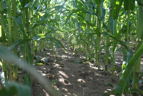 Field Corn Path Grain Agriculture