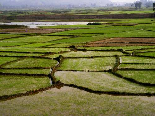 Field Rice Green Tropical Vietnam Asia Nature