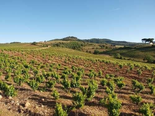 Field Summer Vineyard Agriculture Rural