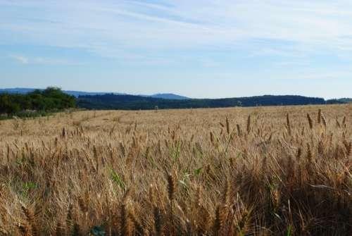 Field Sky Nature Blue Grain Bloom