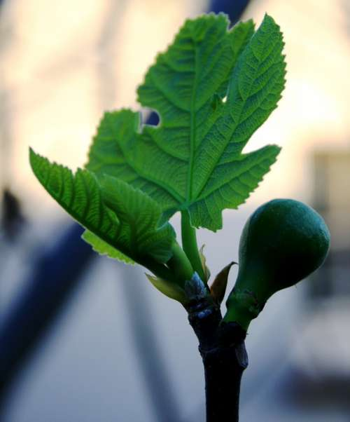 Fig Fruit Young Swollen New Leaf Bright Green