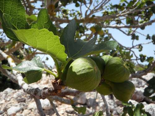 Fig Fig Tree Real Coward Figs Fruit Eat Fruits